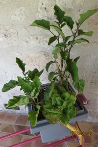 acheter aubergine legumcub sur legum cub vente mat riel jardinage et accessoires. Black Bedroom Furniture Sets. Home Design Ideas