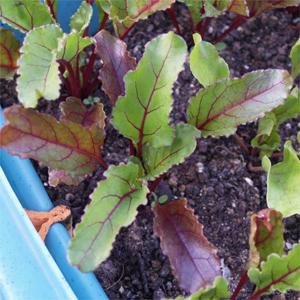 acheter betterave semis sur legum cub vente mat riel jardinage et accessoires. Black Bedroom Furniture Sets. Home Design Ideas