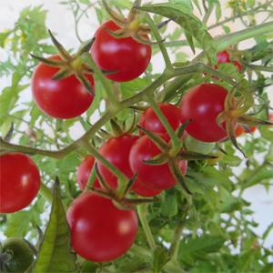 tomate cerise en pot